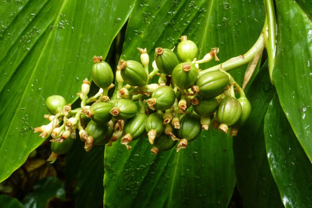Zielona kawa uprawa