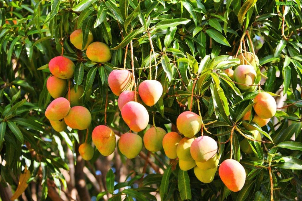 Mango - krzew i owoce