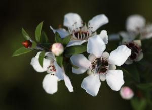 kwiat manuka