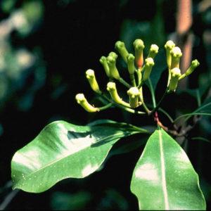 Czapetka pachnąca, goździkowiec korzenny - Syzygium aromaticum