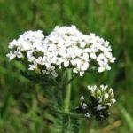 Gemeine Schafgarbe - Achillea millefolium L.