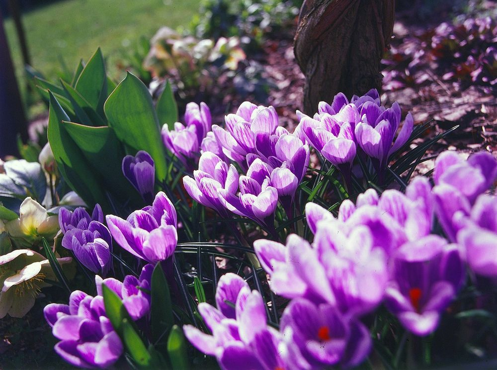 kwiat szafranu