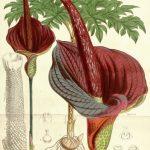 Dziwidło - Amorphophallus konjac