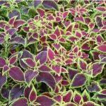 Pokrzywa indyjska - Salvia indica