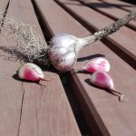 Czosnek pospolity - Allium sativum