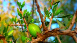 Drzewo arganowe (Argania Spinosa)