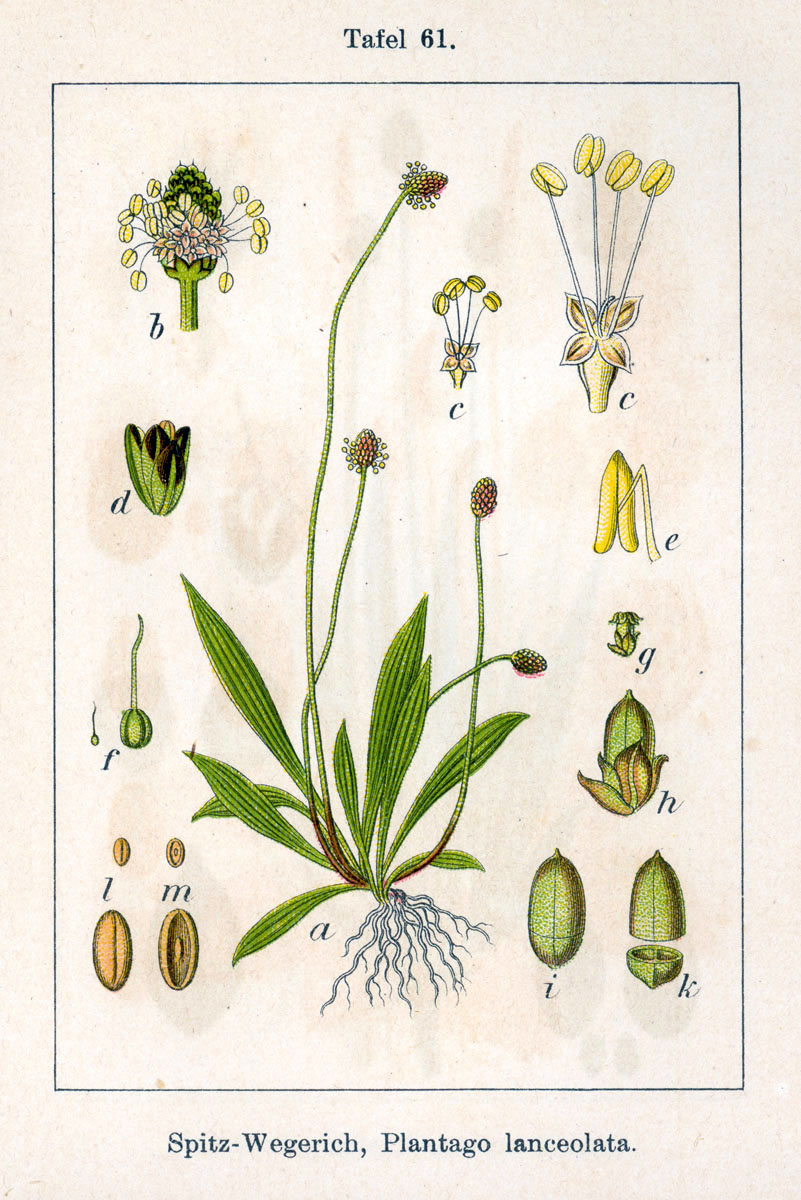 Babka lancetowata (Plantago lanceolata) - surowiec zielarski