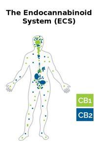System Endokannabinoidowy (ECS)