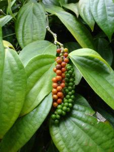 Black pepper - piperine