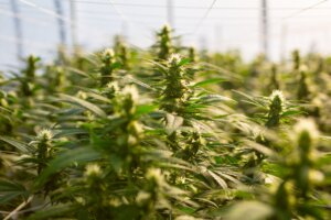 How to Buy High-Quality Hemp Online (Fast)